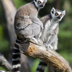 lémuriens faune madagasacr