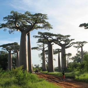 baobabs flore madagascar