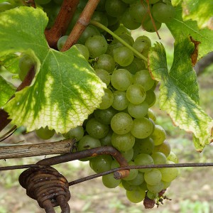 vignes dordogne