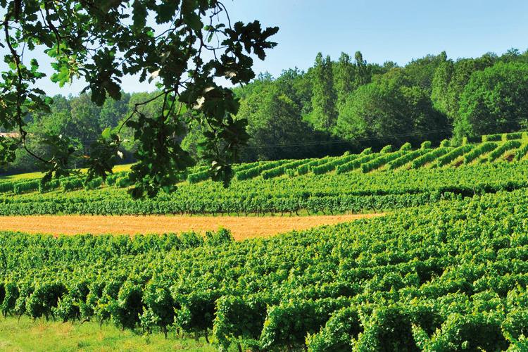 champ de vignes - Dordogne